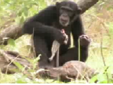A chimp eating prey she killed with a spear