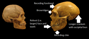 Bits of the skull that separate humans (left) from Neanderthals (right). Can any of them explain why they went extinct?