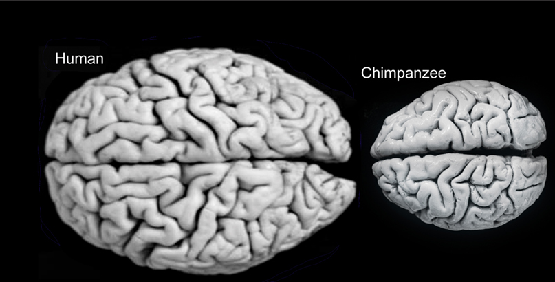A human and chimp brain. As you can see, when I say ours are absurdly large, I mean it