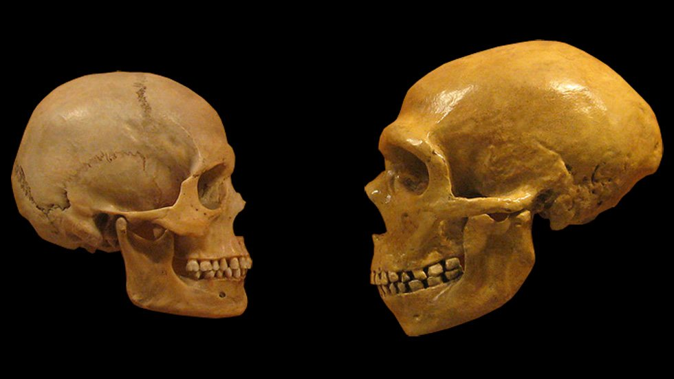 The round human head (left) compared with a Neanderthal