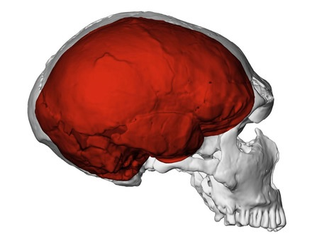 A Neanderthal brain. What mysteries does it hold.