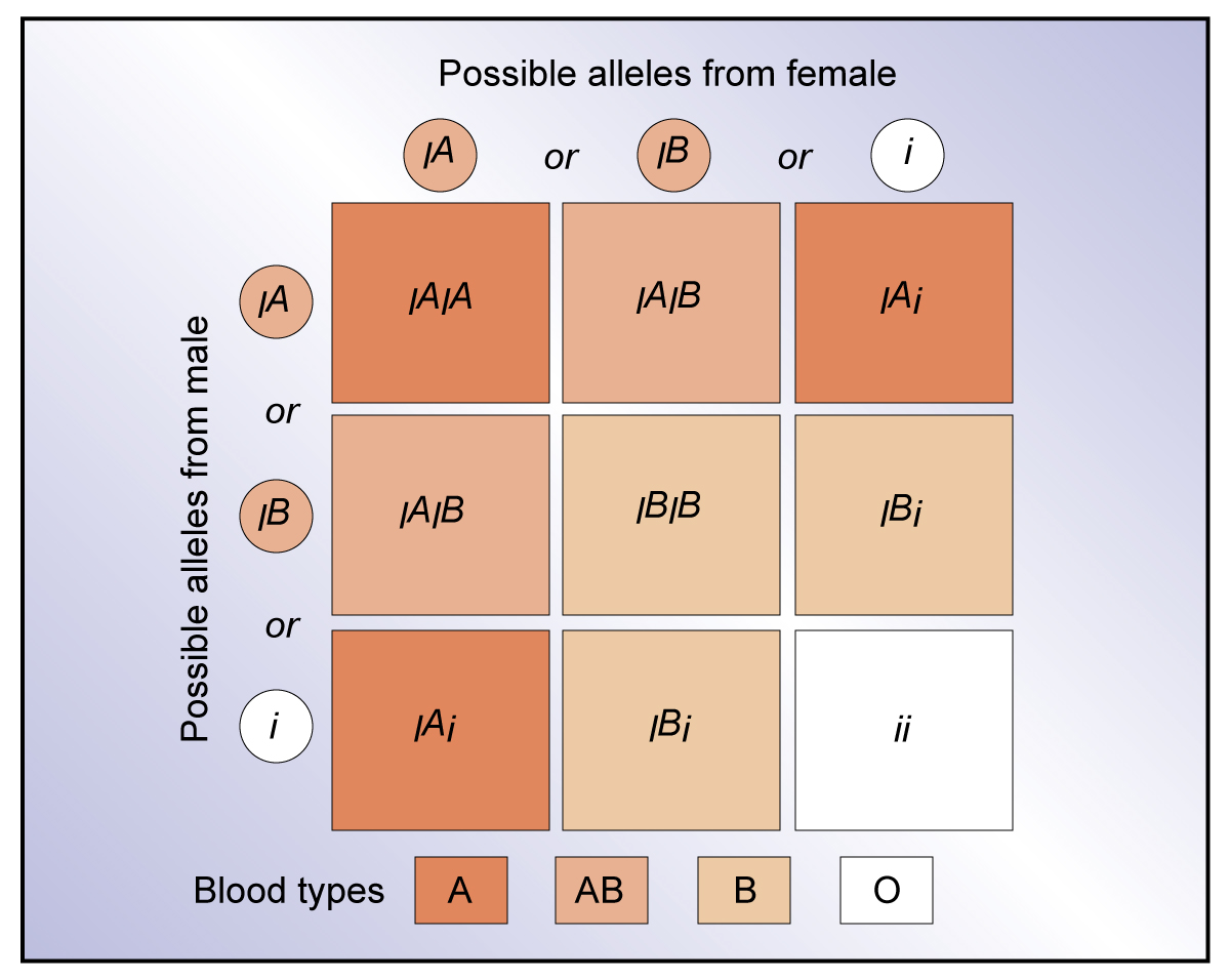 Blood type is controlled by a combination of two alleles.