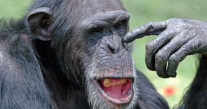 Chimps pick their nose like us, but the actual shape is very different