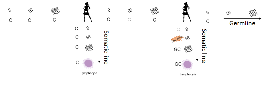 This final scenario shows a mutation happening in the daughter's somatic line. When comparing sequences taken from lymphocytes, this study would have registered the mother as being homoplasmic and the daughter as being heteroplasmic. Jeanson's analysis of the data would have counted this as a germline mutation when once again the germline has remained unchanged.