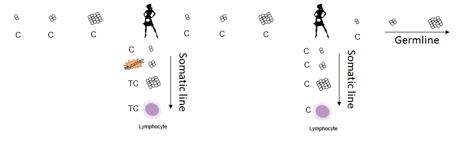 This second scenario shows a mutation happening in the mother's somatic line. When comparing sequences taken from lymphocytes, this study would have registered the mother as being heteroplasmic and the daughter as being homoplasmic. Jeanson's analysis of the data would have counted this as a germline mutation when in fact the germline has remained unchanged.