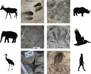 Footprints from the site, showing the range of animals there