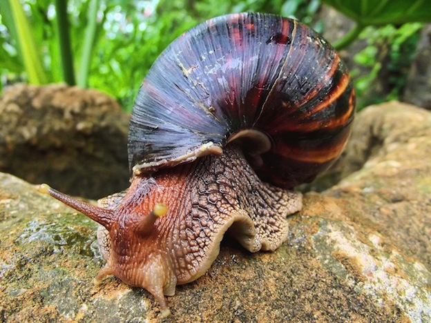 A Giant African Land Snail. One candidate for the damage done to Homo naledi