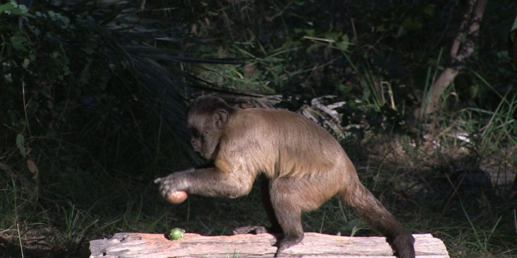 A capuchin cracking rocks. Saddly, none of these cute monkeys were part of the experiment