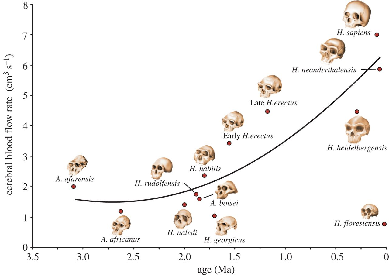 How the amount of blood our noggin gets changed over the course of human brain evolution