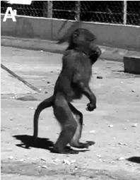 A young, bipedal, olive baboon